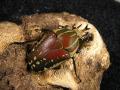ポリフェムスオオツノカナブン幼虫2頭