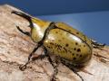 ミヤシタシロカブト幼虫3頭 マット付 No.6421