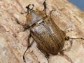 ボクティヒメゾウカブト幼虫1頭