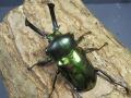 ニジイロクワガタ(グリーン系)幼虫3頭 No.7160