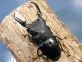 パラワンヒラタ幼虫3頭 No.7194