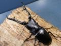 ギラファノコギリ(フローレス)幼虫3頭 マット付 No.7428