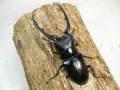 コンフキウスノコギリ幼虫♂♀ペア  マット付 No.7430