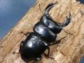 アンタエウス(ブータンアンテ)幼虫3頭 No.9340