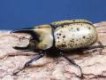 ティティウスシロカブト幼虫♂♀ペア マット付 No.7640