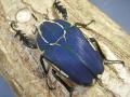 ウガンデンシスオオツノハナムグリ幼虫♂♀ペア マット付 No.7696