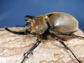 ギアスゾウカブト(ポリオン)幼虫3頭 No.7734