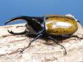 モロンオオカブト幼虫3頭  No.9065
