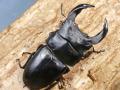 限定 ホペイオオクワガタ(北峰)幼虫 No.624