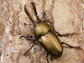 【限定】大型オオクワガタ(久留米)幼虫3頭セット No.558
