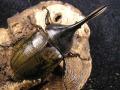 ヘラクレス・トリニダーデンシス ♂94ミリ♀ペア No.172