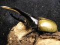 レットアイヘラクレス(RR RB)幼虫2頭 No.893