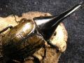 極太系ヘラクレス(ヘラヘラ) 初2令幼虫3頭 No.9342