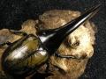 大型系ヘラクレス(ヘラヘラ)初2令幼虫3頭 No.962