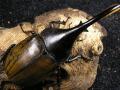 ヘラクレス・トリニダーデンシス♂121ミリ♀ペア No.9111