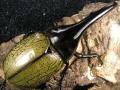 ヘラクレスヘラクレス (ヘラヘラ) ♂120ミリ♀ペア No.9837