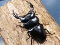 アンタエウス幼虫3頭