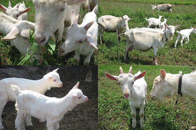 山羊ミルク石鹸