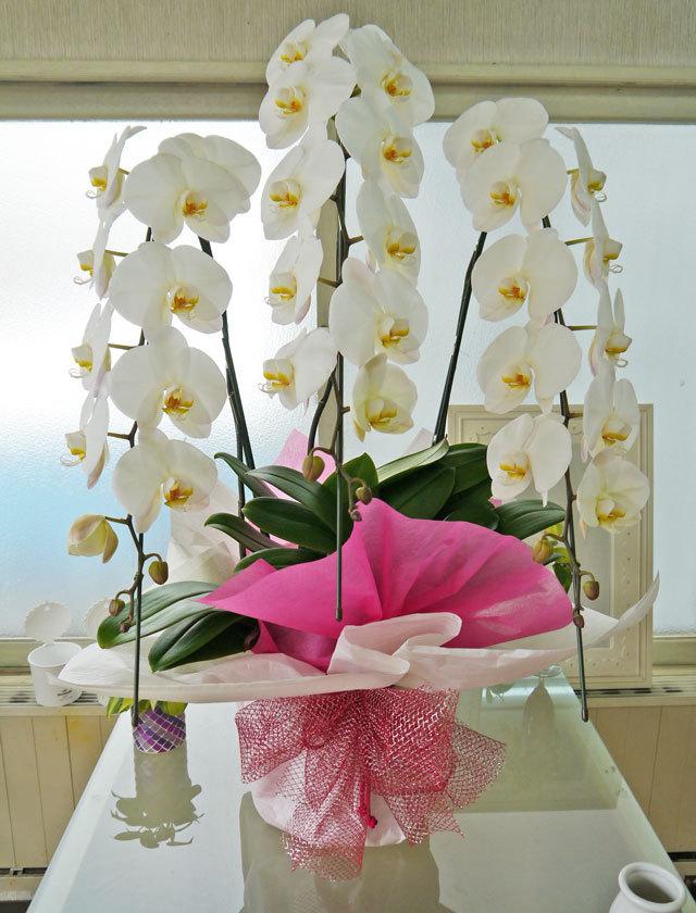 開店祝いにおすすめの胡蝶蘭画像