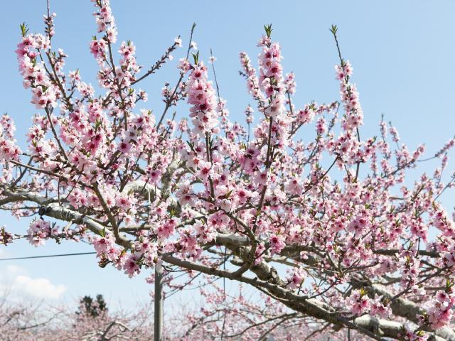小河原さんちの桃