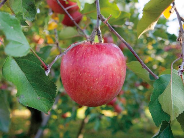 りんごのとなり
