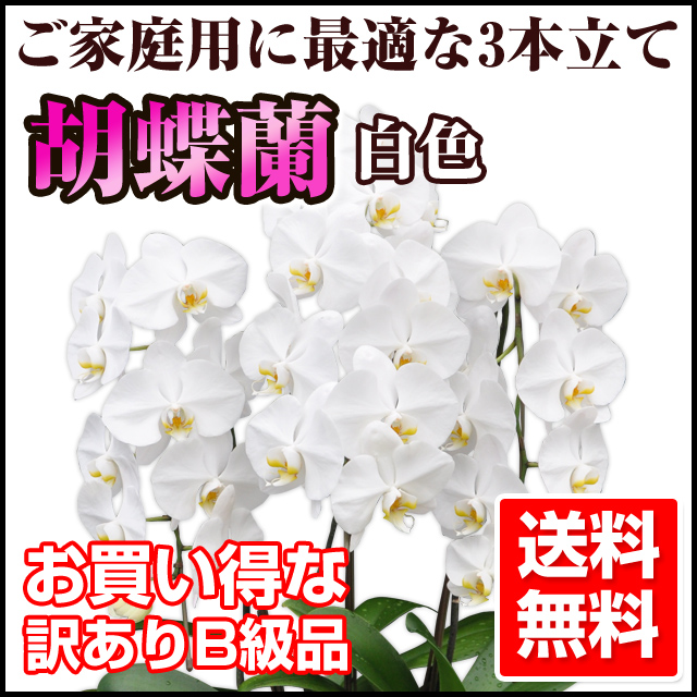 胡蝶蘭 訳あり 白色