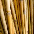葦(篳篥臚舌製作用の材料)