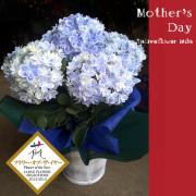 母の日限定花 紫陽花万華鏡 二子玉川の花屋ネイティブフラワーイーダ