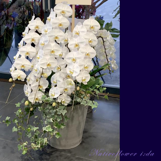 お祝い胡蝶蘭 幸福が飛んでくる 開店祝い