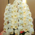 胡蝶蘭 開店祝い 花 二子玉川の花屋 ネイティブフラワーイーダ