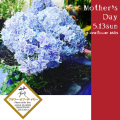 母の日に贈る花 二子玉川の花屋 ネイティブフラワーイーダ アジサイ万華鏡