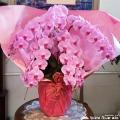 胡蝶蘭 大輪 ピンク お祝い花 長寿祝い