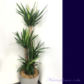 二子玉川の花屋ネイティブフラワーイーダ お祝い 観葉植物