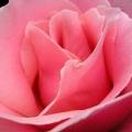 バラの香りがします。