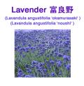 ラベンダー(富良野産 真正ラベンダー、トゥルーラベンダー)/アロマオイル(精油) 10ml