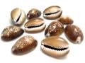 シェル 貝殻 巻貝 ココナツブラウン 【穴無し】アクセサリー(18~25mm) 20個