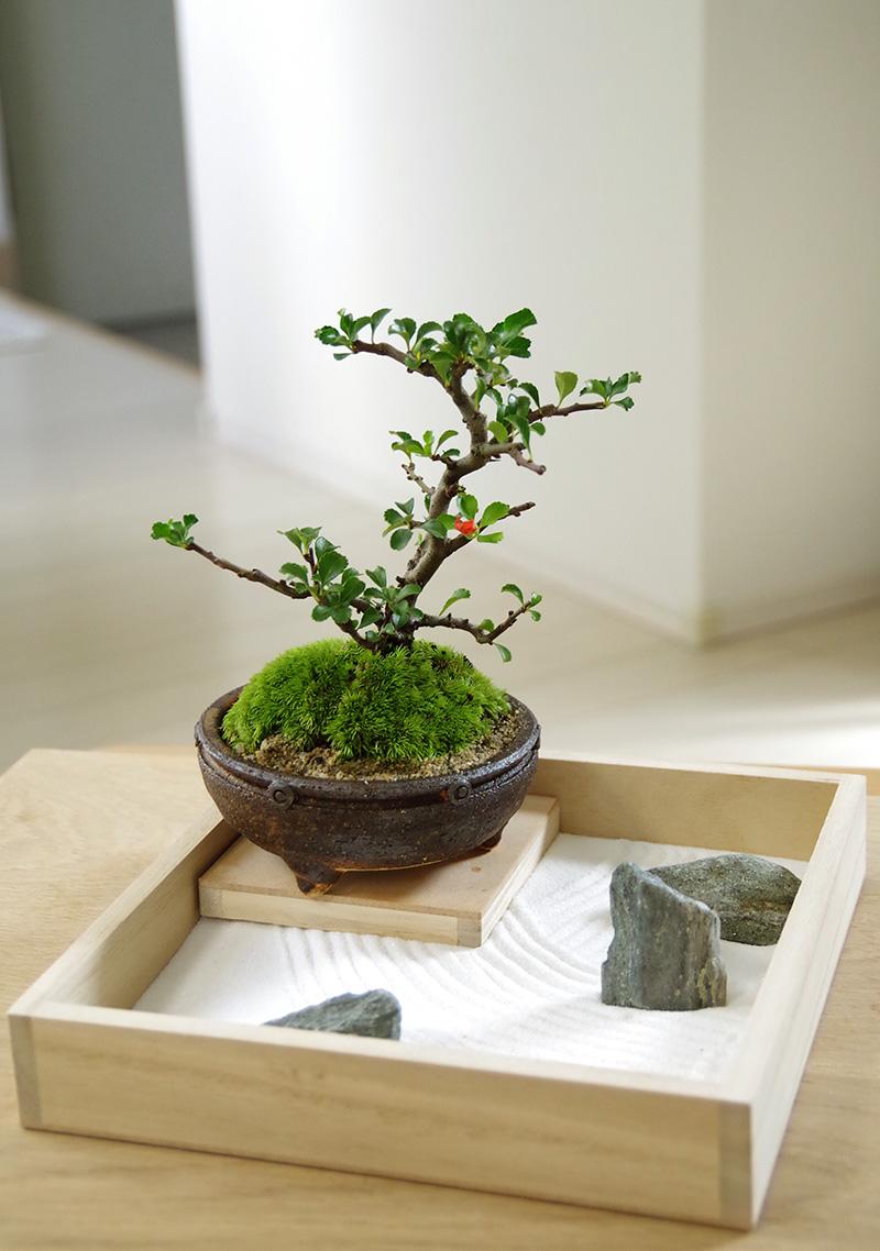 【枯山水×盆栽】~枯山水セット(三波石)小サイズ+紅長寿梅盆栽