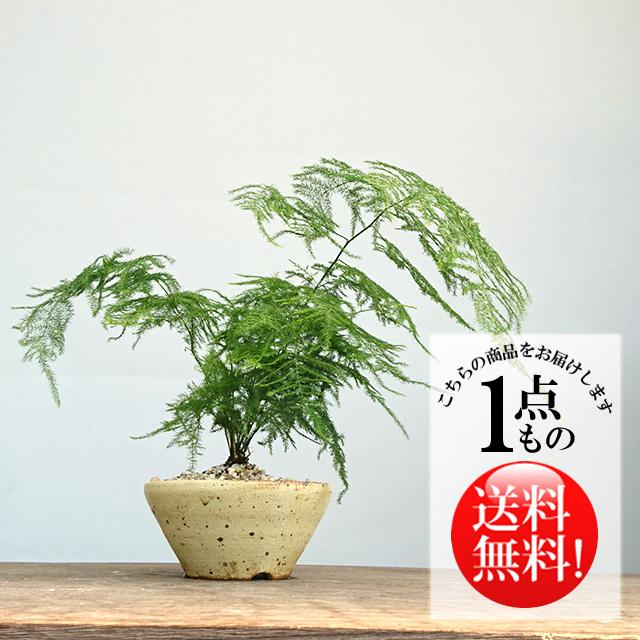 アスパラガス鉢植え