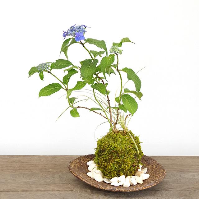 紫陽花苔玉