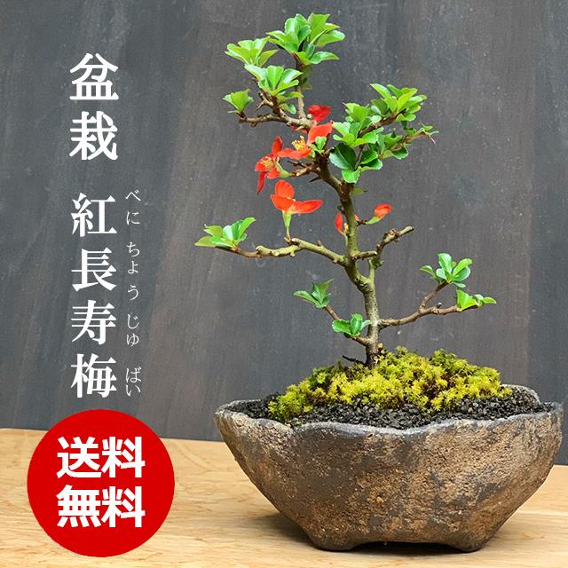 送料無料!年に数回可憐な花が楽しめる【紅長寿梅(べにちょうじゅばい)の盆栽(くらま鉢】