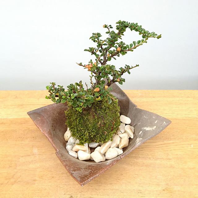 紅紫檀苔玉