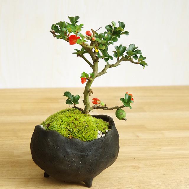 年に数回可憐な花が楽しめます【紅長寿梅(べにちょうじゅばい)の盆栽(鉢 作家 真山茜氏】