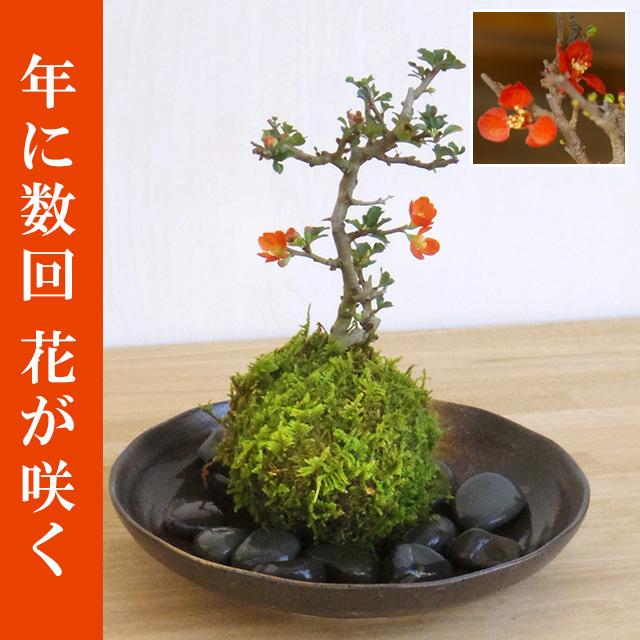 年に数回可憐な花が楽しめます。名前も縁起がいいでしょ?【紅長寿梅(べにちょうじゅばい)の苔玉・器セット】