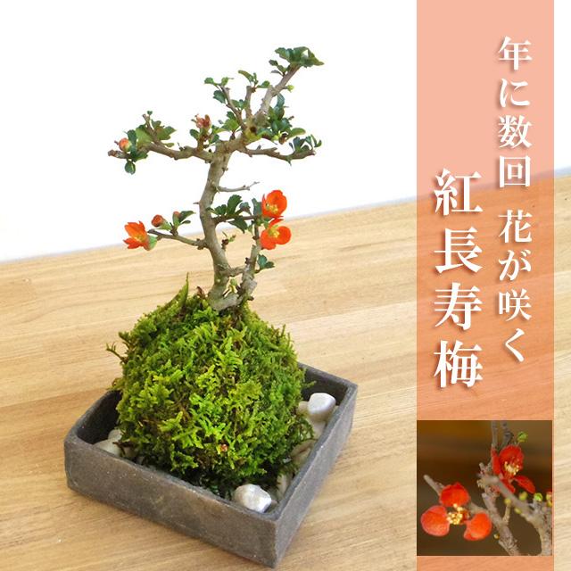 年に数回可憐な花が楽しめます。名前も縁起がいいでしょ?【紅長寿梅(べにちょうじゅばい)の苔玉・焼締角器セット】