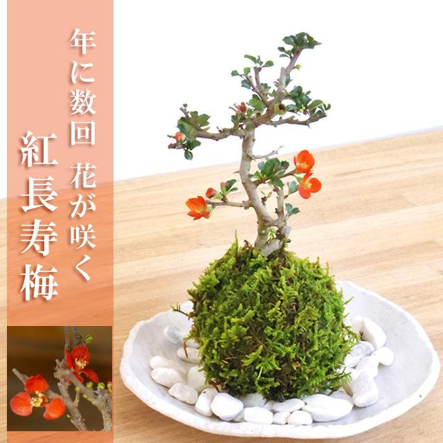 年に数回可憐な花が楽しめます。名前も縁起がいいでしょ?【紅長寿梅(べにちょうじゅばい)の苔玉・楕円白粉引器セット】