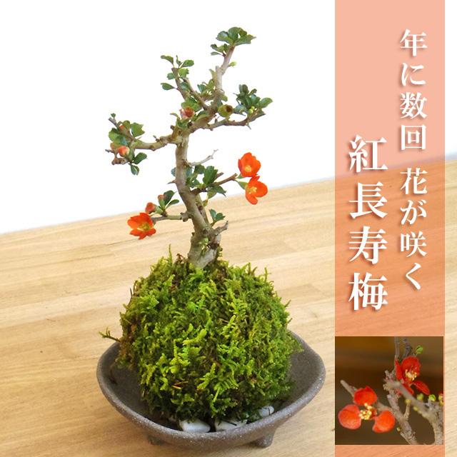 年に数回可憐な花が楽しめます。名前も縁起がいいでしょ?【紅長寿梅(べにちょうじゅばい)の苔玉・三つ足灰器セット】