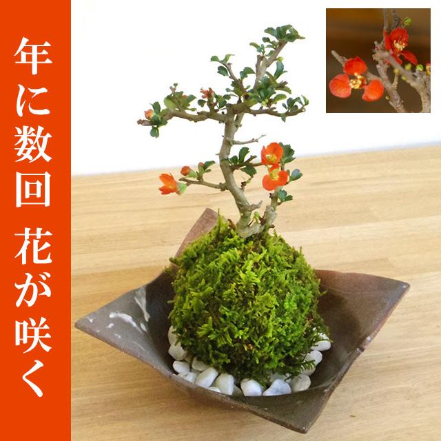 年に数回可憐な花が楽しめます。名前も縁起がいいでしょ?【紅長寿梅(べにちょうじゅばい)の苔玉・焼締茶器セット】