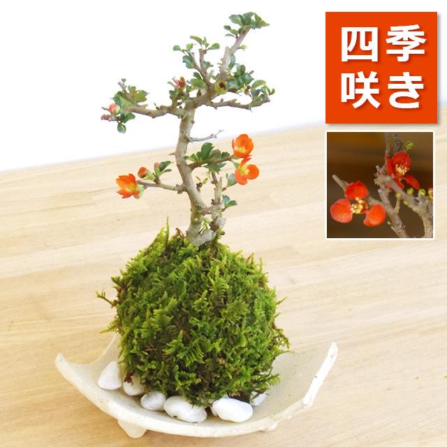 年に数回可憐な花が楽しめます。名前も縁起がいいでしょ?【紅長寿梅(べにちょうじゅばい)の苔玉・信楽焼白三つ足器】