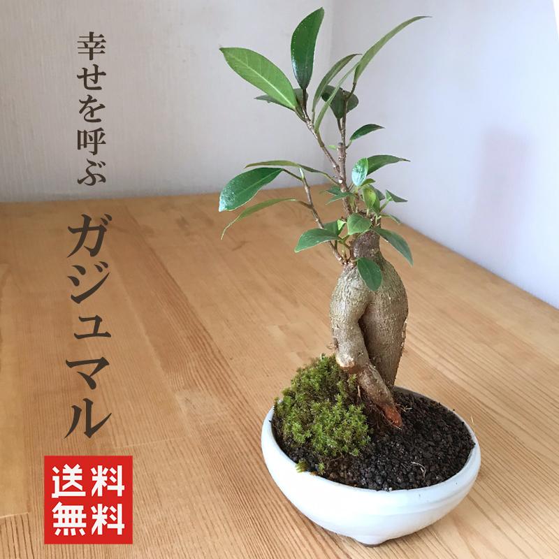 ガジュマル盆栽