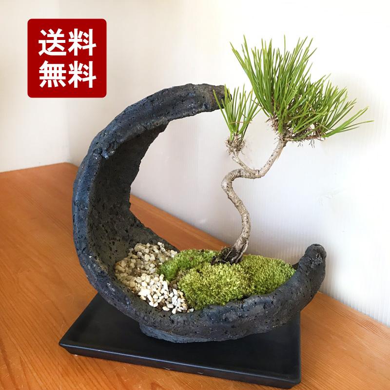 縁起良し 【黒松盆栽(水昇岩三日月鉢)・黒皿付】